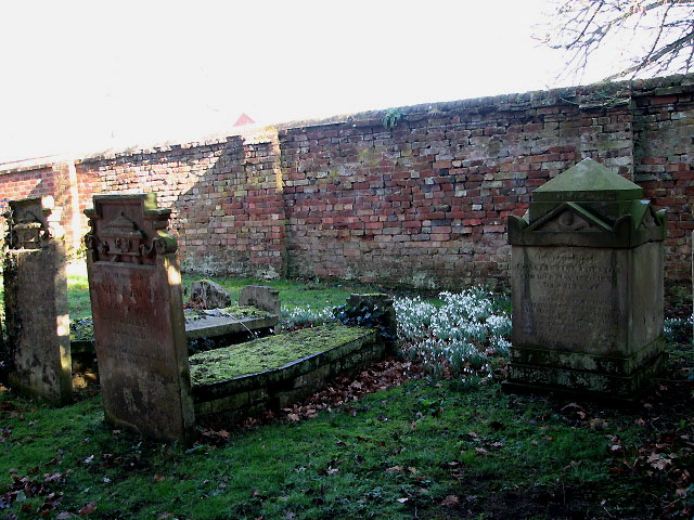 Snowdrops among graves