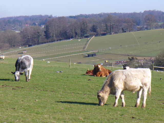 Grazing on Fetcham Downs