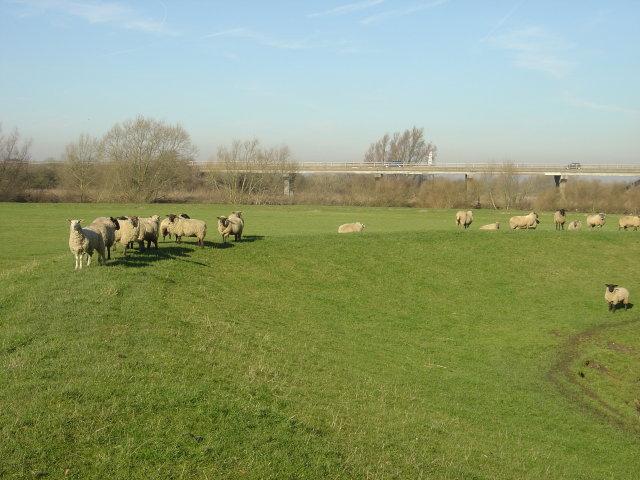 Sheep on the bank