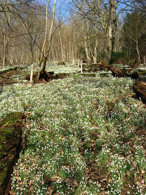 Snowdrops in Easter Wood