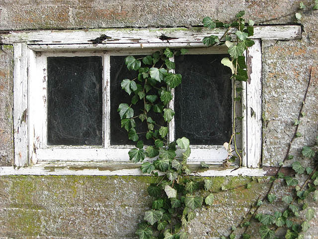 An old window and ivy
