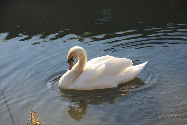 Swan on Soham Lode