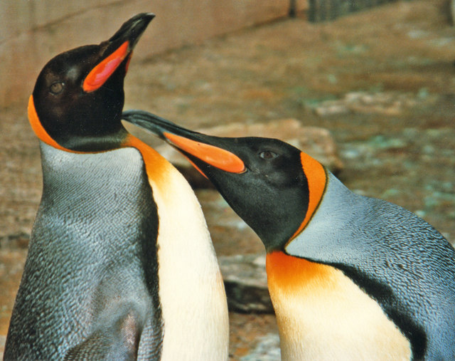 King Penguins at Birdland, Bourton on the Water, Gloucestershire