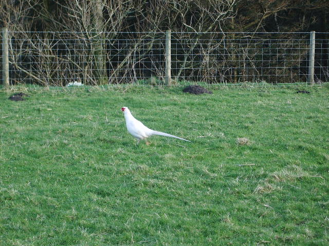 Albino pheasant near Closes Barn