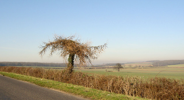 That's an unusual tree in the hedgerow on Westfield