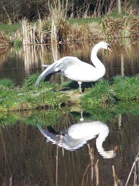 Swan at Bishopstone Fishing Lakes