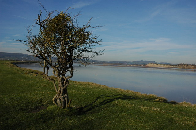 Hawthorn tree on the bank of the River Severn