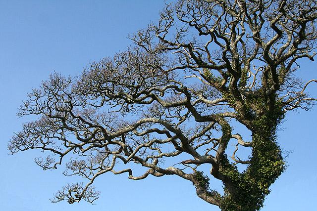 Yealmpton: oak tree in Gipsy Lane