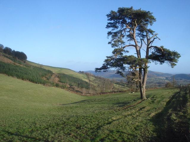 Lone Scots Pine on Castle Hill