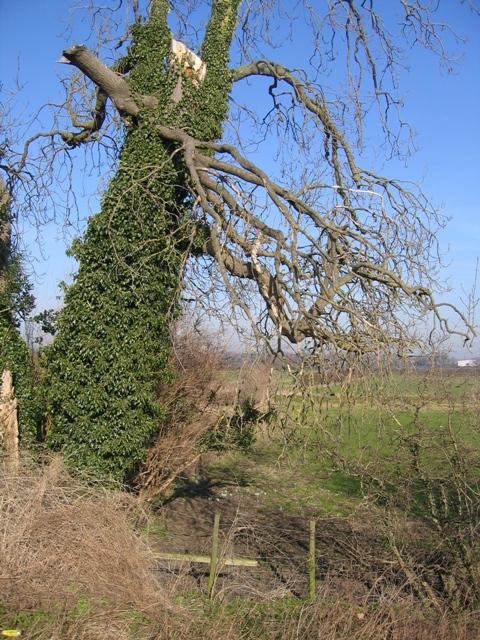Dead tree by the River Dee/Afon Dyfrdwy