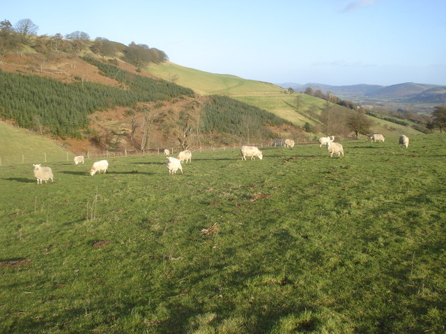 Grazing sheep on Castle Hill