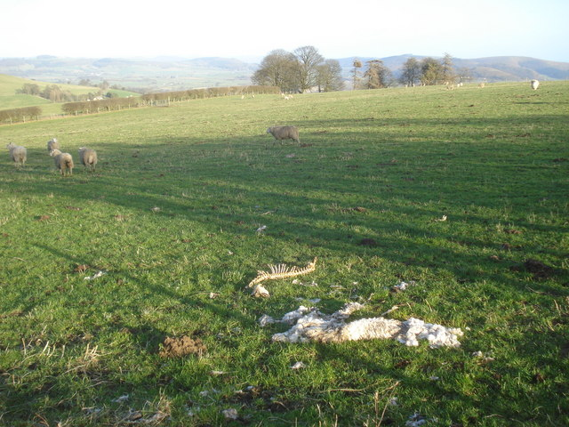 Dead sheep near Pool Redding