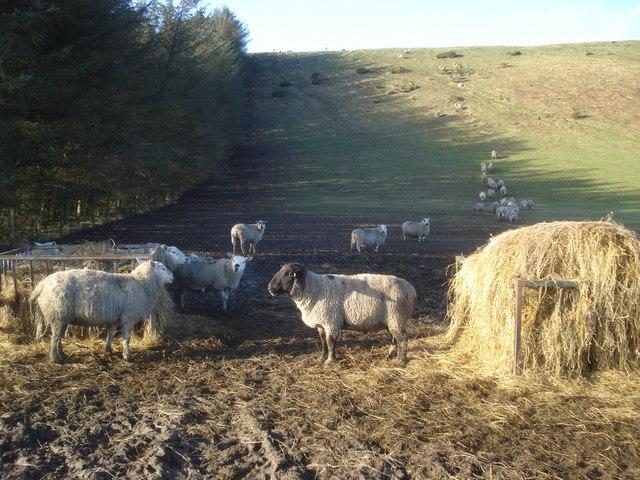 Sheep feeding on Castle Hill