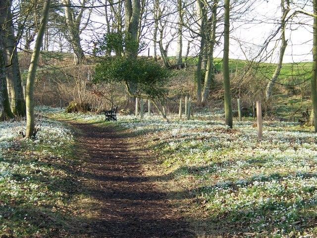 Cambo Snowdrops - the woodland walk