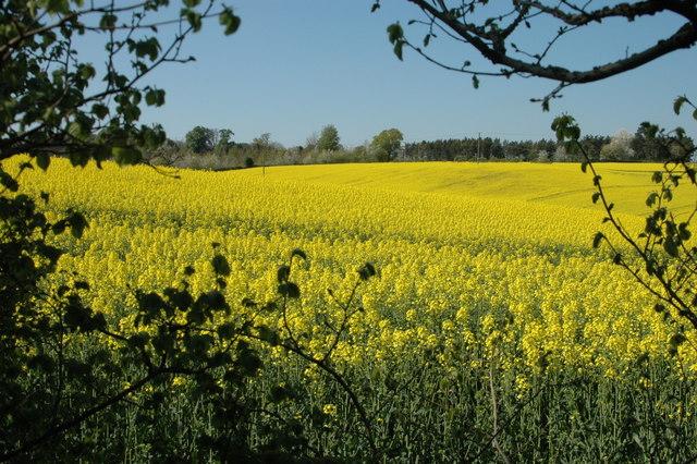 Oil-seed Rape in bloom near Claverley