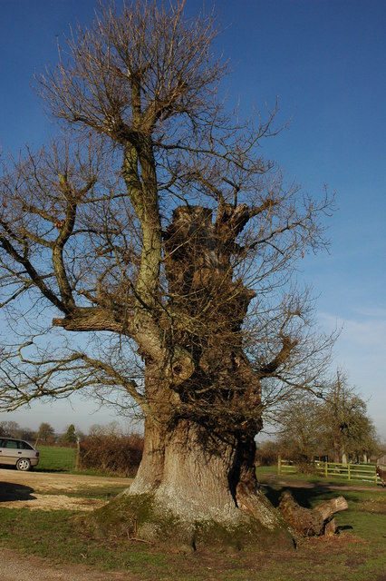 Oak tree at Wick Court, Fretherne
