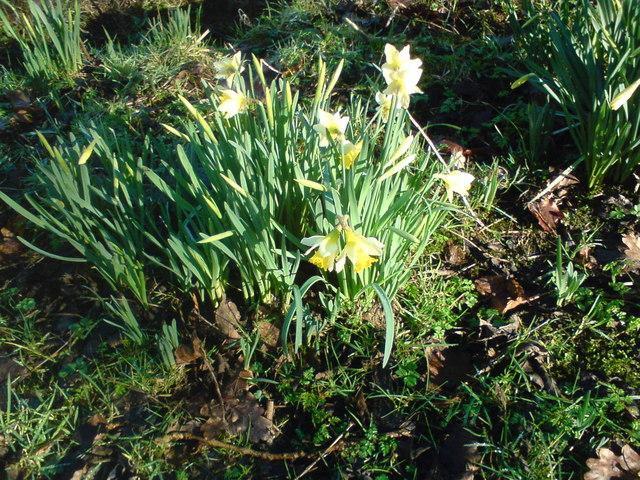 Spring Daffs - Culcheth linear Park