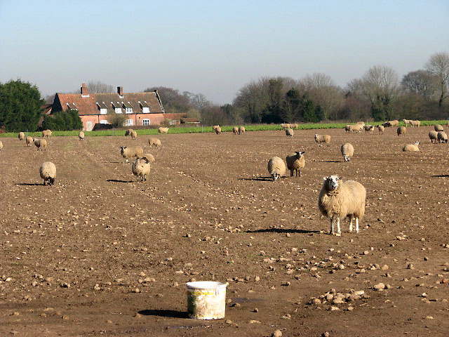 Sheep in turnip field