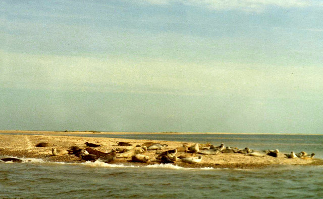 Grey Seals at Blakeney Point, Norfolk