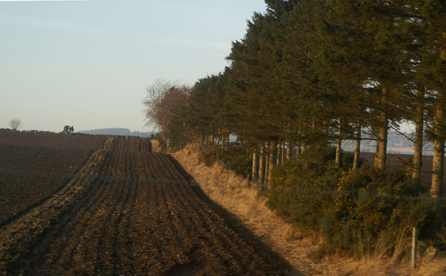 Windbreak near New Alyth