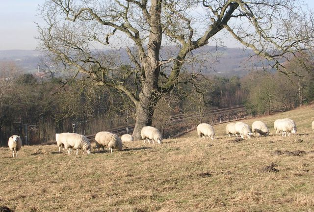 Sheep may safely graze! - Apperley Lane