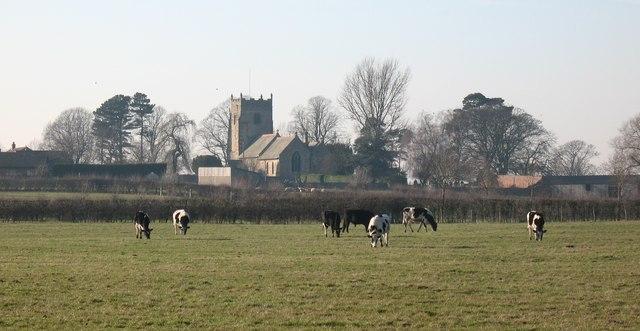 Grazing cattle, Pickhill