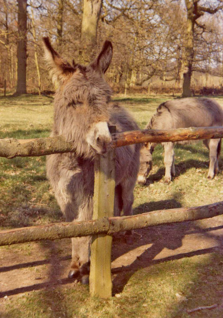 Donkeys at Felbrigg Hall, Norfolk