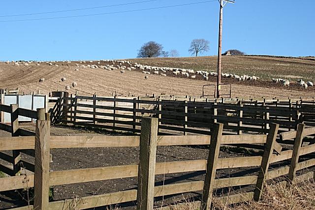 Sheep at Backtack