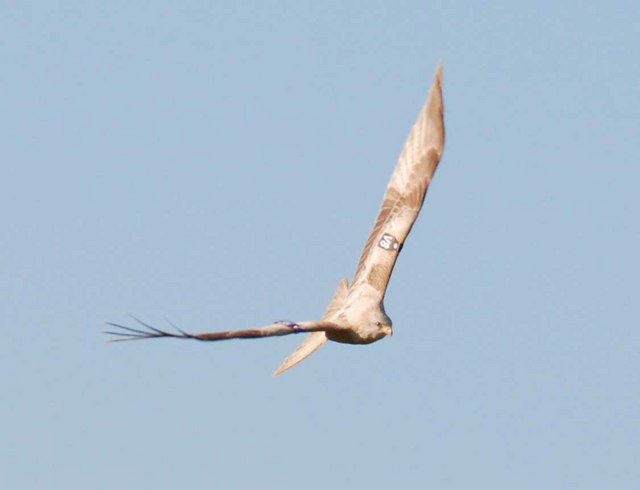 White Red Kite in Flight