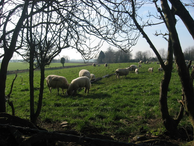 Sheep at Nicholastown, Co. Louth
