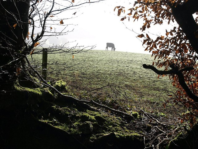 Bovine grazing by Webberton Wood