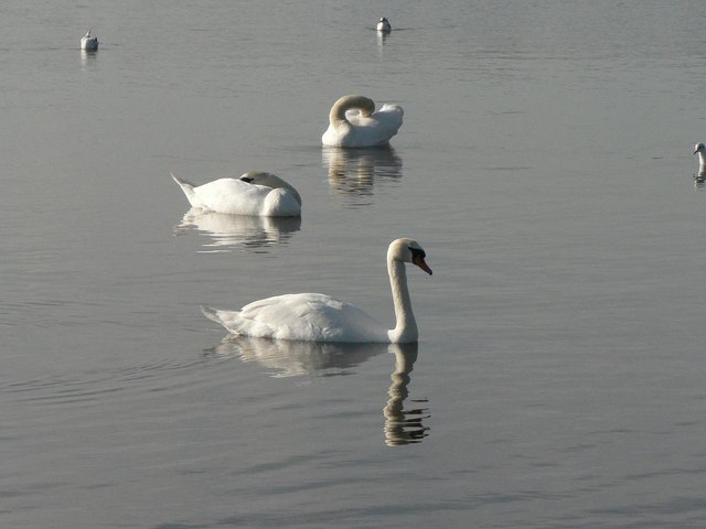 Mudeford: swans with different poses