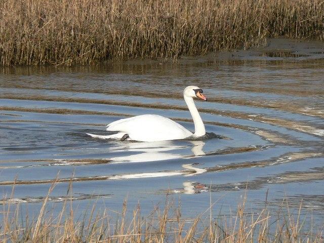 Mudeford: swan among reeds