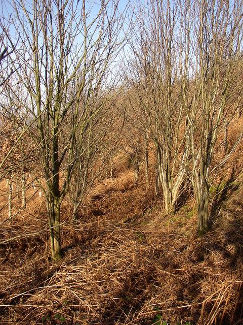 Trees in rows, Tong Royd, Elland