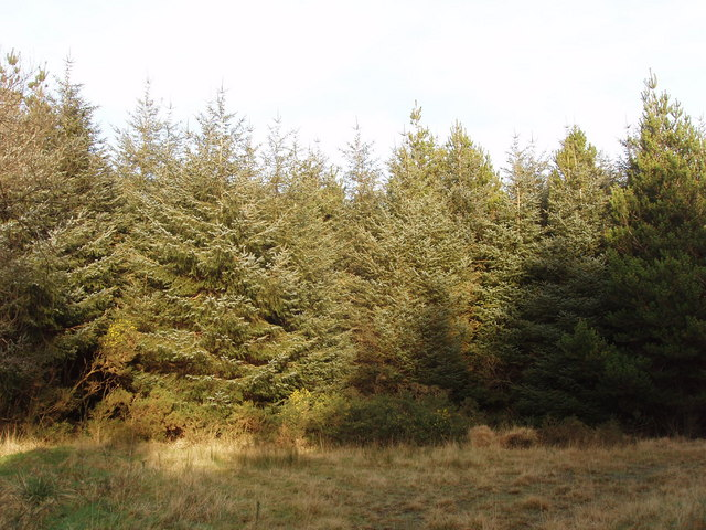 Conifers in Clifford Plantation