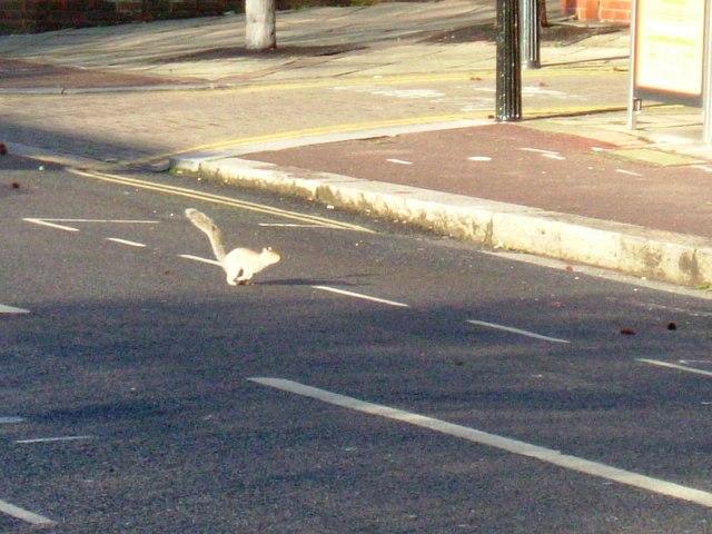 Squirrel in Commonwealth Avenue