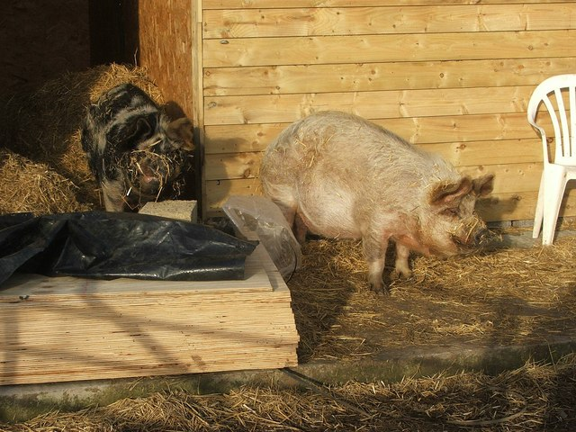 Pigs in the Sunshine