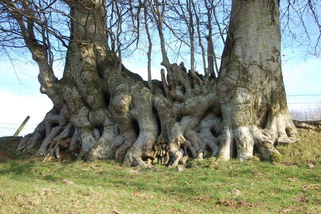 Unusual root system seen from the footpath to Clicket