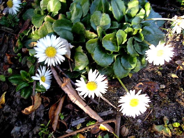 Daisy  in February
