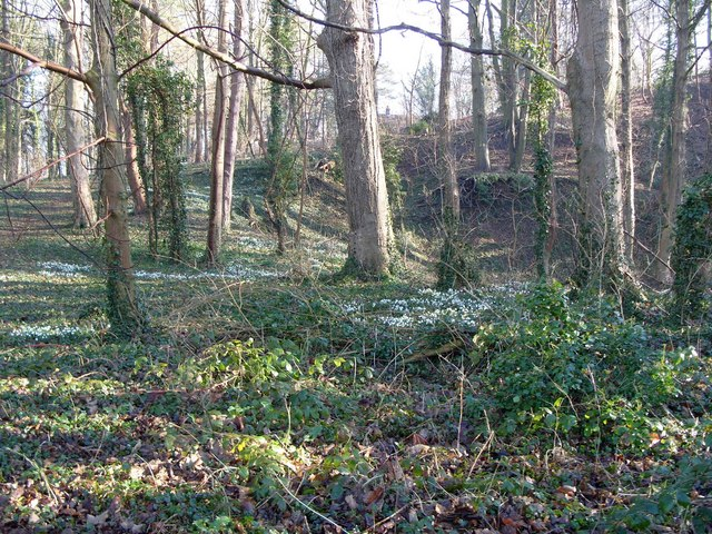 Woods with snowdrops, County School