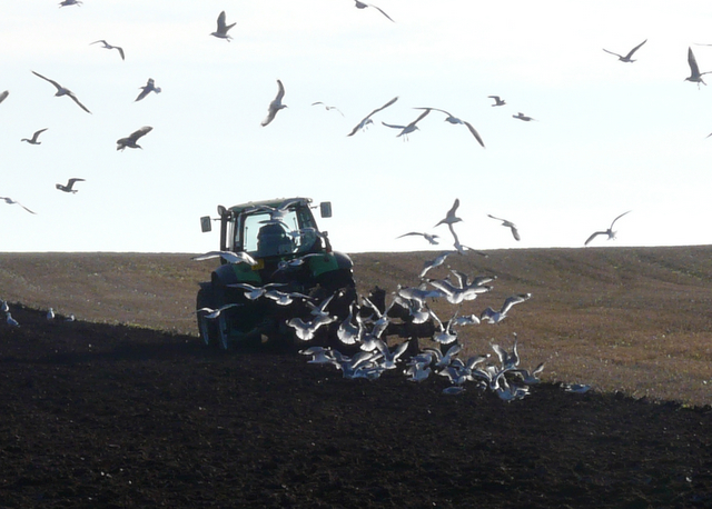 Ploughing the barley field