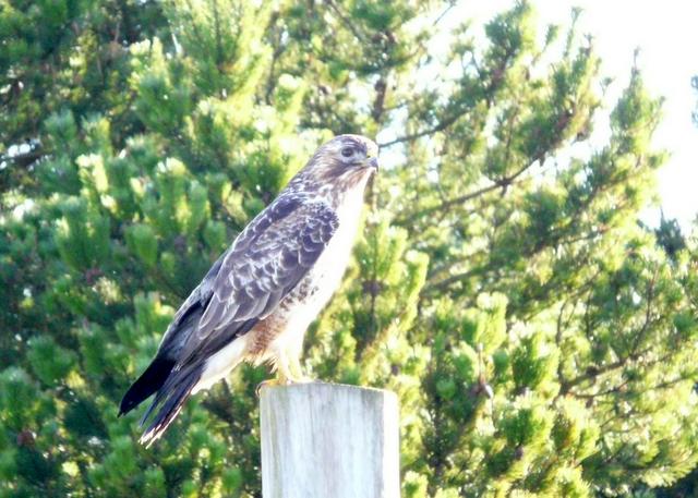 A very close look at a buzzard