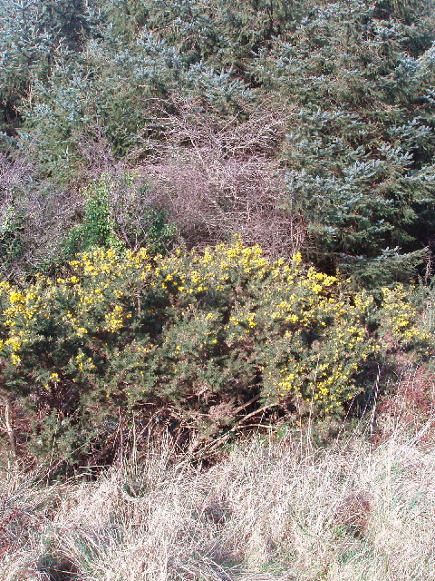 Gorse in Clifford Plantation