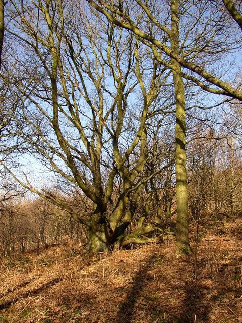 Big trees, Tong Royd, Elland