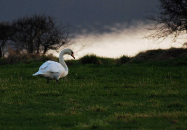 Swan on the banks of the Loch