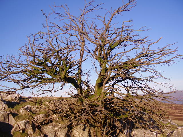 Solitary hawthorn