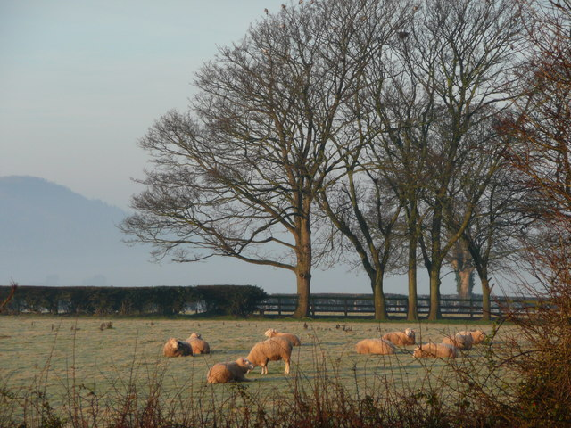 Sheep on a frosty field
