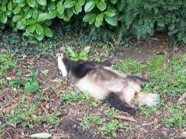 Poor Mr Badger
