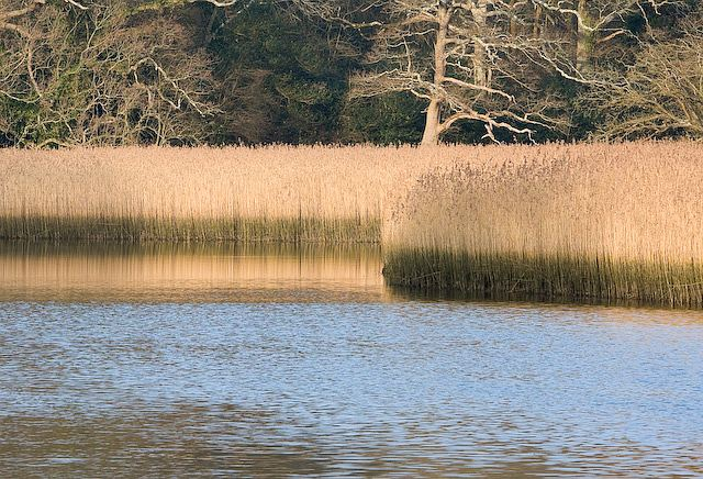 Reeds on tidal part of River Hamble, near Curbridge