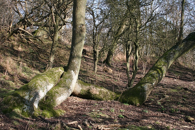 Entwined on Hollybush Hill